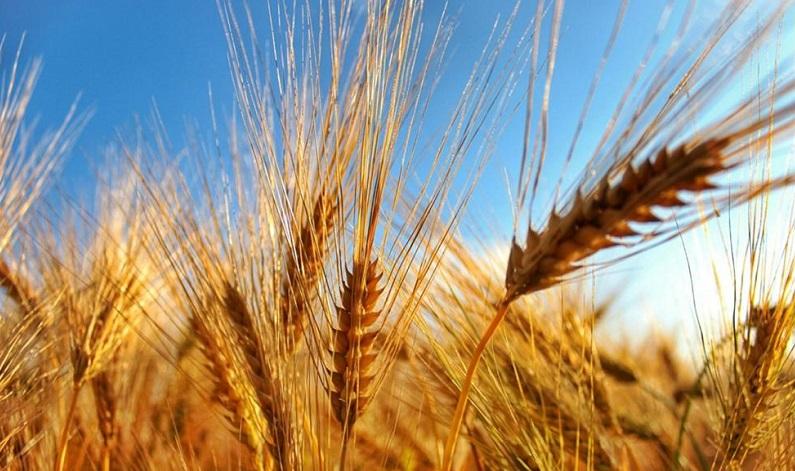 wheatgrass-image